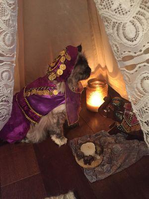 Maggie waggie Gypsy Aladdin pet costume for Sale in Fairfax, VA