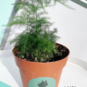Asparagus Fern Plant for Sale in Los Angeles, CA