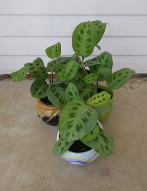 Prayer house plants$10-$13 each pot for Sale in St. Louis, MO