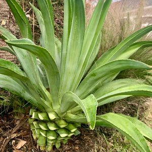 Agave Plants And Other for Sale in Bradenton, FL