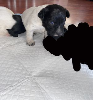 Puppies 🐶 for Sale in North Las Vegas, NV