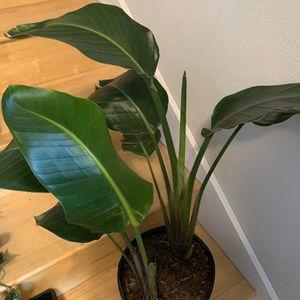 2stems/plants Bird of Paradise for Sale in Renton, WA
