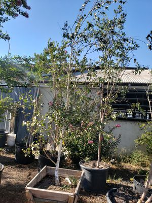 White Birch tree for Sale in Ontario, CA