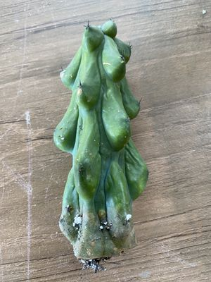 """1 Myrtillos boobies cactus fatty 5"""" tall, for Sale in Stanton, CA"""