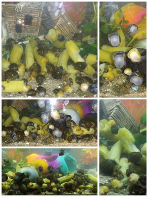 Mystery Snail Lovers for Sale in Houston, TX