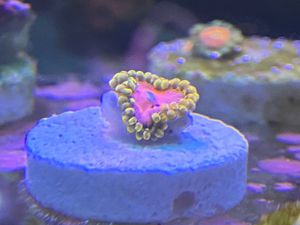 Pink diamonds, zoa, zoanthid, coral, aquarium for Sale in Gardena, CA