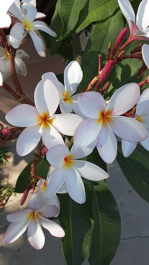 Plumeria plants cuttings for Sale in DEVORE HGHTS, CA