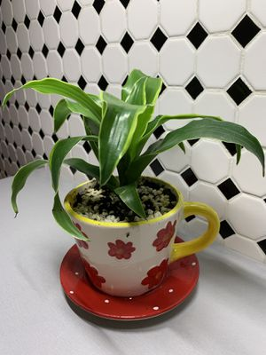 Exotic dieffenbachia plant comes in a ceramic tea cup pot for Sale in Lakewood, CO