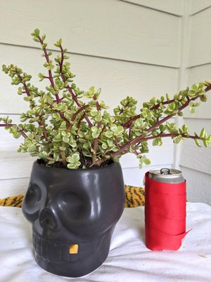 Rainbow Baby Jade/Elephant Bush Succulent Plants in Skull Ceramic Planter Pot- Real Indoor House Plant for Sale in Auburn, WA