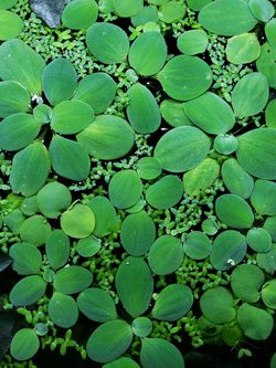 Dwarf Water Lettuce, Aquarium Plants, Floating Plants for Sale in Yakima,  WA