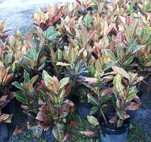 Beautiful Crotons and other plants for Sale in Orange City, FL