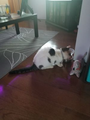 6 yr old fixed female cat for Sale in Crimora, VA