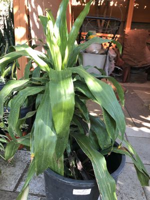 Plant for sale for Sale in Temple City, CA