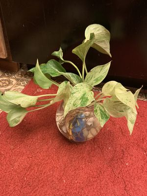 Air purifier plants arrangement philodendron marble queen pothos in a fish bowl for Sale in Hanford, CA
