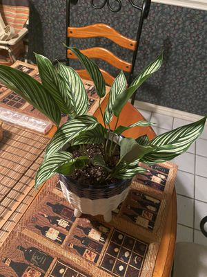 Calathea Vittata in blue and white glazed ceramic pot for Sale in Euless, TX