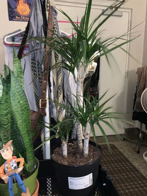 Dragon Tree for Sale in Los Angeles, CA