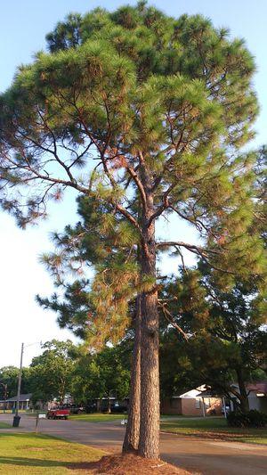 (3) HUGE - Free Pine Tree's for Sale in Alexandria, LA