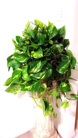 This Wide🌱Healthy 🌱Fresh🌱Beautiful Golden Pothos Will Bring More Fresh Air To Your Home - Plant only - PLANTER IS NOT INCLUDED for Sale in Garden Grove, CA