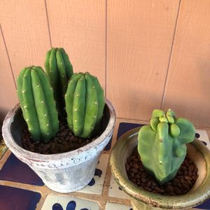Cactus Plant Cuttings Totem Pole San Pedro for Sale in Chandler, AZ