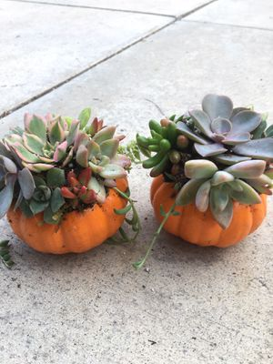 Small pumpkins with suculenta for sell pick up only for Sale in Whittier, CA