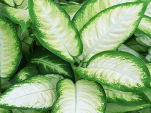 Live 6 inch potted Dieffenbachia Plant for Sale in Zellwood, FL