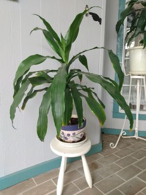 plant in nice pot for Sale in San Mateo, CA