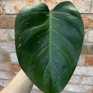 Philodendron Pink Princess - Cutting / Light Variegation for Sale in Sugar Land, TX