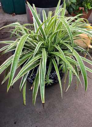 Spider plant with ceramic pot for Sale in Queens, NY