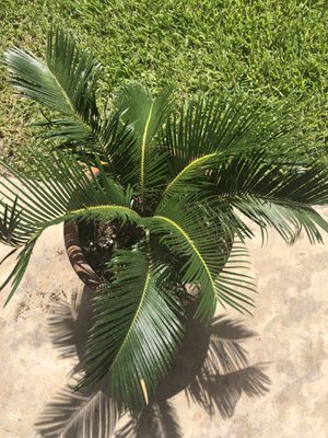 Palm Tree Plant for Sale in Sugar Land, TX