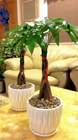 """Lucky Money Tree Plants - Up to 18"""" tall total - $12 each for Sale in Santa Ana, CA"""