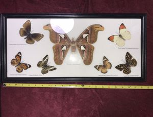 Butterfly taxidermy frame for Sale in Livermore, CA