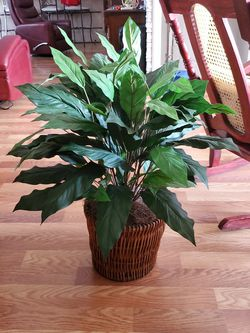 Plant for Sale in Poinciana,  FL