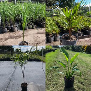 Assorted palms and landscape plants for Sale in Miami, FL