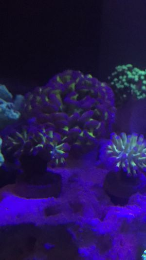 Large purple tip hammer coral for Sale in Hialeah, FL
