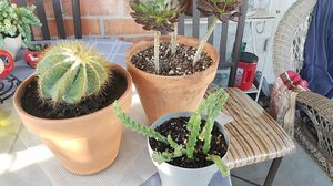 Cactus,starfish and red leaf succulent for Sale in Downey, CA