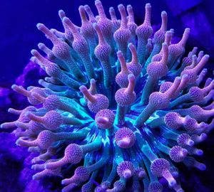 Rainbow bubble tip anemone for Sale in Seattle, WA