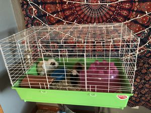 Guinea Pigs for Sale in La Porte City, IA