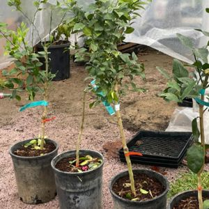 Árboles de limones MEXICANOS VERDES $30 cada uno / Green Mexican Limes $30 each for Sale in Fresno, CA