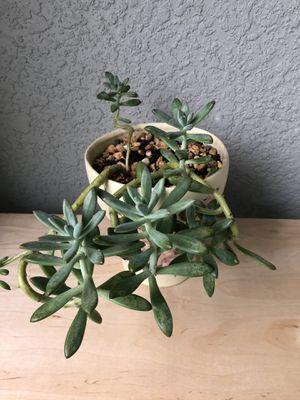 Succulents for Sale in Saint Cloud, FL