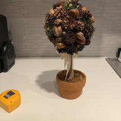 Acorn Nut Plant for Sale in Irvine,  CA