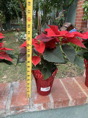 Christmas plants for Sale in Santa Ana, CA