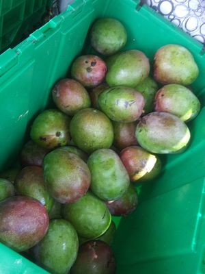 6 LARGE ORGANIC MANGOES for Sale in Delray Beach, FL