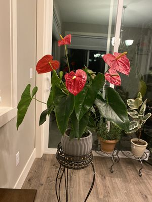 Beautiful flower (anthurium) for Sale in Vancouver, WA