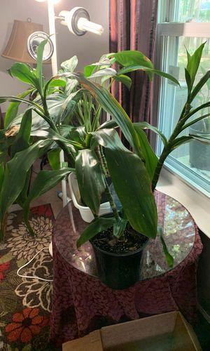Med corn plant for Sale in Virginia Beach, VA