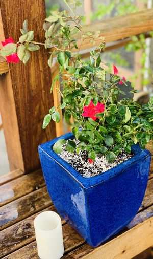 Live outdoor rose bush plant in a heavy ceramic planter flower pot—firm price for Sale in Seattle, WA