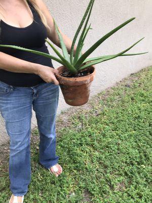 Big Aloe Vera plant with a clay pot for Sale in Orlando, FL