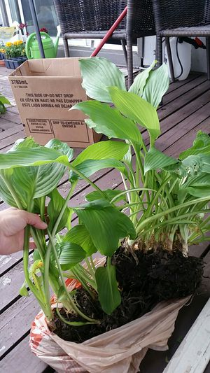 Lo#2, live fresh plants Hostas $5 for Sale in Bloomingdale, IL