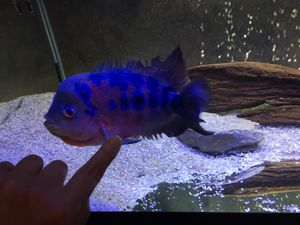 "Flowerhorn 8-10"" female for Sale in Nashville, TN"