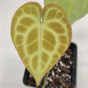 Anthurium Clarinervium for Sale in Chino, CA