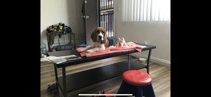 Beagle Puppy 4 Months for Sale in Norwalk, CA